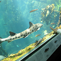 This summer is your last chance ever to see some pretty slippery characters?ore than 20 awesome species of sharks and rays?hat have already sent thousands of shivers up thousands of spines while starring in an award-winning special exhibition ?harks: Myth and Mystery.?Leopard shark ( triakis semifasciata ) Monterey Bay Aquarium.