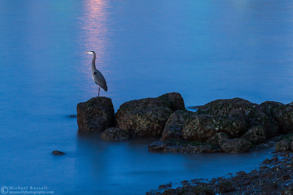 A Great Blue Heron (Ardea herodias) sits on the rocks next to English Bay in Kitsilano.  Photographed from Kits Beach Park in Vancouver, British Columbia, Canada.