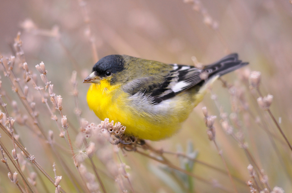 Lesser Goldfinch,High Desert,Oregon,USA,.