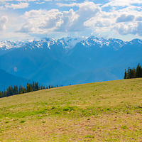 Deer grazing in field - Hurricane Ridge - Olympic National Park, WA