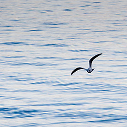 A seagull flying over a tranquil wavy water texture