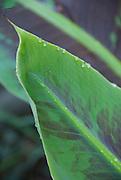 Raindrops glisten on the leaves of a banana tree.