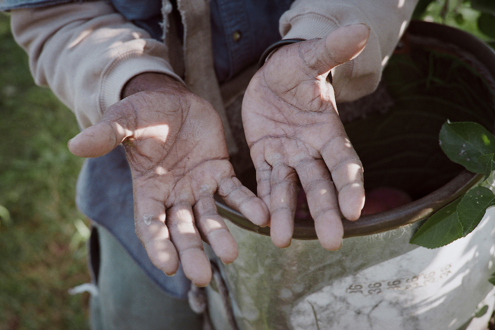 The men are chosen for this work in their home countries based on the size and softness of their hands. A large heavily padded and soft palm is prized as it is much less likely to bruise the fruit as it is picked. If an apple is blemished it is no longer a table apple, which fetches a higer price, but becomes a cider apple, at a much lower price.