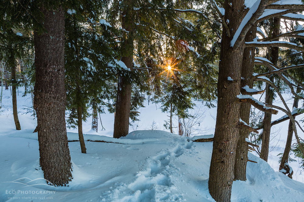 Early winter morning in a hemlock grove on the Dame Forest preserve in Durham, New Hampshire.
