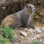 This juvenile marmot is part of a colony located southeast of Hurricane Ridge in the Olympic National Park, located on Washington's Olympic Peninsula