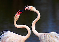 Two pink flamingos in a typical beahaviour,  testing their strength and determining hierarchy..Taken at the ornithological park of Pont de Gau in Camargue, France.