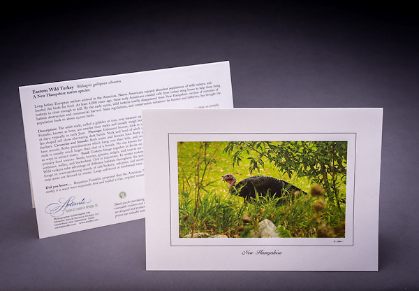 Now quite abundant in NH, this native bird was almost extinct at the turn of the century.  Interesting history and quirky facts about the turkey are included on the back of the card. <br /> <br /> Artemis Photo Greeting Cards featuring NH native flora and fauna and historic sites. The cards are made exclusively in NH made from 100% FSC recycled paper, manufactured with wind and water power, and are archival acid free paper. Each card includes details on the back about the image, including interesting anecdotes, historic facts, conservation status, and recipes.