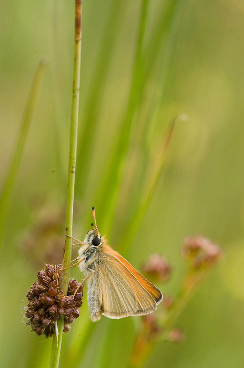 butterfly, vlinder, geelsprietdikkopje, small skipper