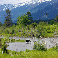 Moose<br /> Grand Teton National Park<br /> Wyoming