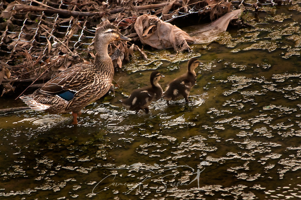 """A mother duck and her two ducklings walk amid storm debris at Forest Lake June 4, 2011 in Tuscaloosa, Ala. An F-5 tornado destroyed the subdivision and much of the town April 27, 2011, prompting many people to write from around the country to ask if the infamous """"Forest Lake ducks"""" survived. (Photo by Carmen K. Sisson/Cloudybright)"""