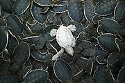 August 23rd 2003, Veracruz, Mexico..In order to increase green Sea Turtle (Quelonia mydas) survival rates, the newly laid eggs are harvested, artificially incubated, and then released at dusk on a beach near Veracruz. Amongst them is a rare albino turtle.