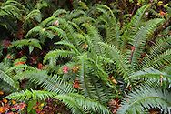 Sword Ferns (Polystichum munitum) cover the forest floor in Campbell Valley Regional Park in Langley, British Columbia, Canada
