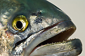 Bluefish Stock Photos