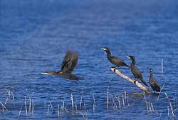 double-crested cormorant; Phalacrocorax auritus; bosque new mexico; flight