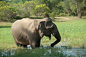 Sri Lankan - Elephant