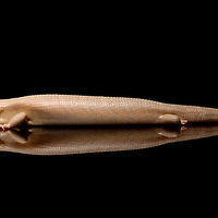 Albino Eastern Blue Tongue Skink (Tiliqua scincoides scincoides) on black