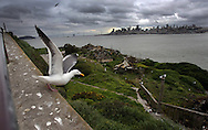 Seagulls fly over ruined sections of Alcatraz island where numerous bird species nest during their migrations across North America, with the backdrop of San Francisco downtown, on the San Francisco Bay on Saturday April 15, 2006. (AP Photo/Jakub Mosur)