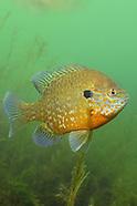 Pumpkinseed Sunfish, Underwater