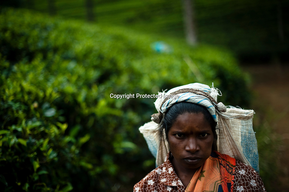 A tea pluckers harvests tea leaves at the the Hollyroad Estates tea plantation near the town of Hatton in central Sri Lanka December 14, 2009.  Pluckers have a target of picking 16 kilograms of the leaves bu on average pick between 25-28 kilograms which will earn them about $5 per day.