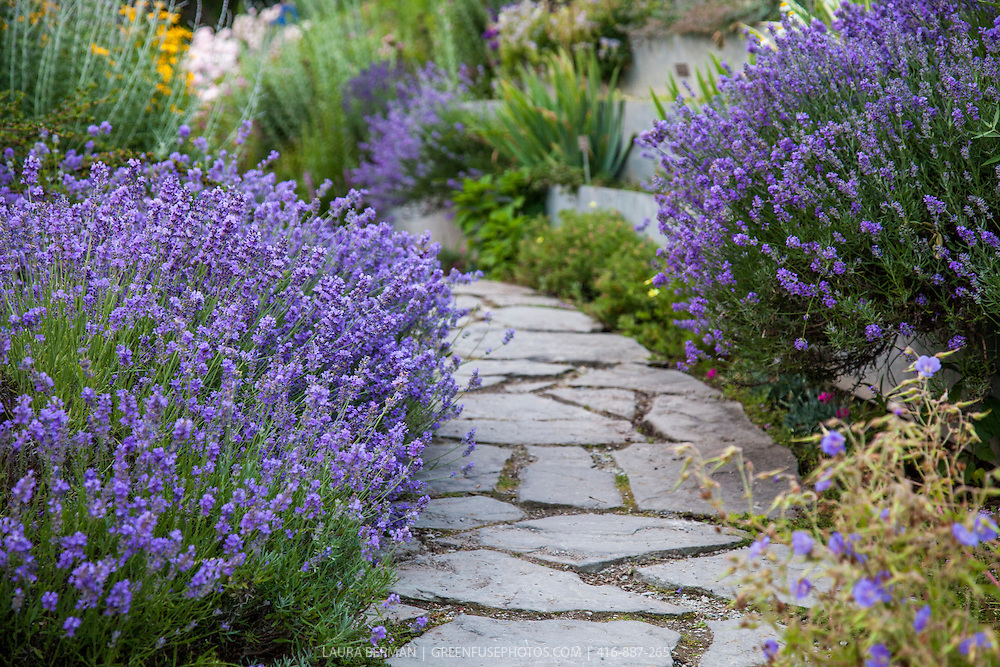 Munstead English lavender lining a flagstone walk (Lavandula angustifolia 'Munstead')