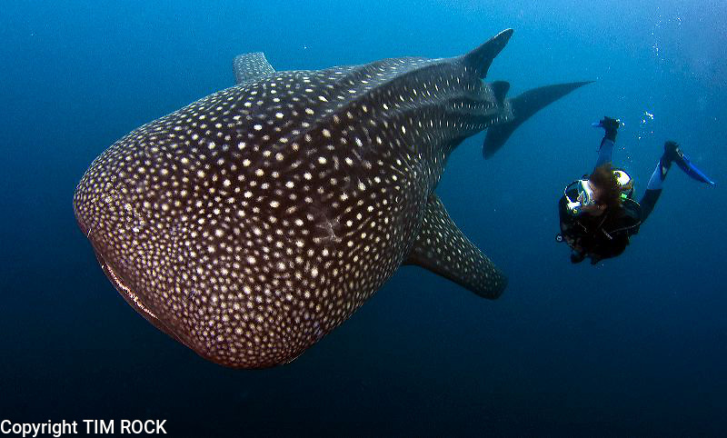 Biak Indonesia  city pictures gallery : Biak and Cenderawasih Bay diving and area. Whale sharks, reefs and ...