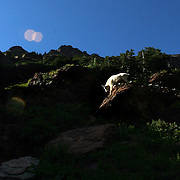 A mountain goat considers his next move while taking in the late-day sun within Glacier National Park.