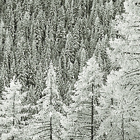 Larch trees stand in strong contrast to the rest of the forest in the Kootenay region of British Columbia. The Larch is unusual in that it is an evergreen tree that sheds its needles in winter.