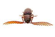 Click Beetle (Dicrepidius palmatus) - male showing pectinate antennae<br /> TEXAS: Bastrop Co.<br /> Stengl &lsquo;Lost Pines&rsquo; Biological Station; 5.4 mi N of Smithville on C.R. 185<br /> 27-May-2012 <br /> J.C. Abbott #2595 &amp; K.K. Abbott