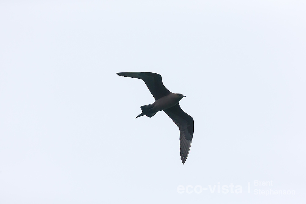 A dark morph Arctic skua or parasitic jaeger (Stercorarius parasiticus) shows its rakish almost falcon-like silhouette against a grey sky. This bird in breeding plumage shows the long pointed central tail feathers present during the breeding season. Jokulsarlon, edge of Vatnajokull National Park, Iceland. July.