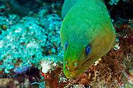 Green Moray Eel Closeup, Gymnothorax funebris, Ranzani, 1840, Grand Cayman