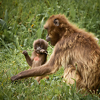 Baby gelada baboon munches on a stick next to mother