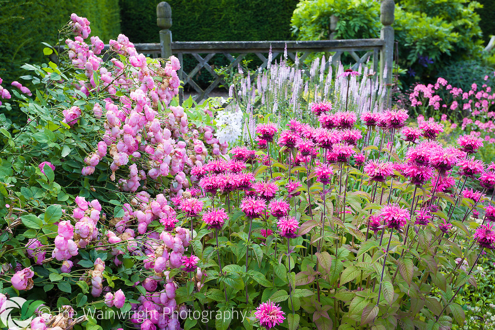 Tumbling roses contrast with a planting of upright monarda, at Wollerton Old Hall Gardens, Shropshire.
