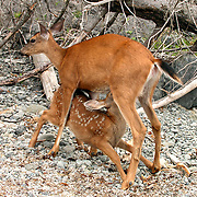 Fawn nursing from its mother on the beach west of Ozette in Washington's Olympic National Park