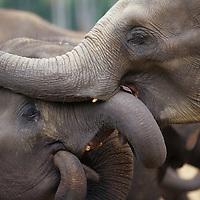 Sri Lanka, Elephants play at Pinnewala Elephant Orphanage near Kegalle (Elephant maximus)