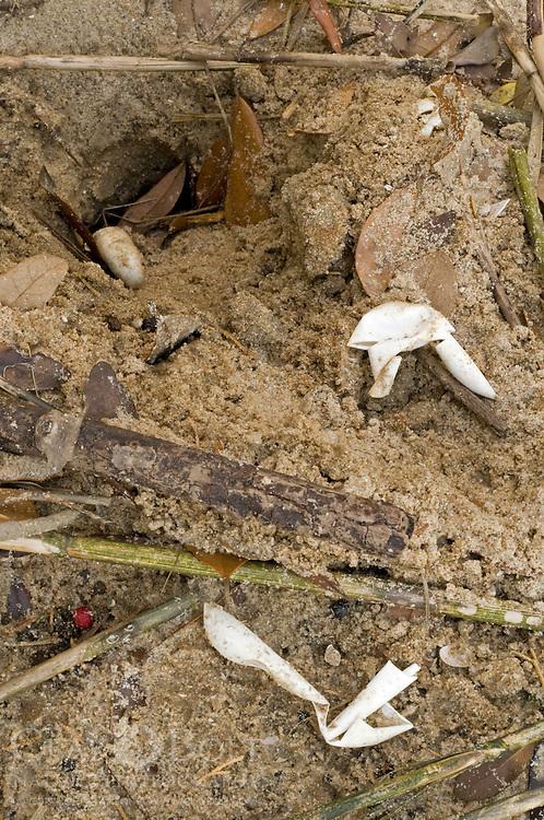 Raided Turtle Nest, Jeremy Island, McClellanville, SC