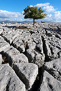 A solitary Midland Hawthorn (Crataegus laevigata) tree, heavily grazed by cattle into a standard, on the limestone pavement at Newbiggin Crags, South Cumbria. This well-developed pavement features rounded-edged blocks known as 'rundkarren', with prominent drainage runnels and small rounded dissolution pits known as 'trittkarren'.<br />
