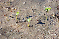 Young mangrove seedlings in the mud on the shores of Roebuck Bay