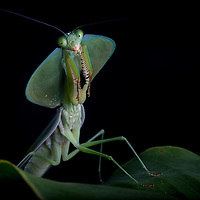 Green leaf mantis in Cocobolo Nature Reserve, Panama