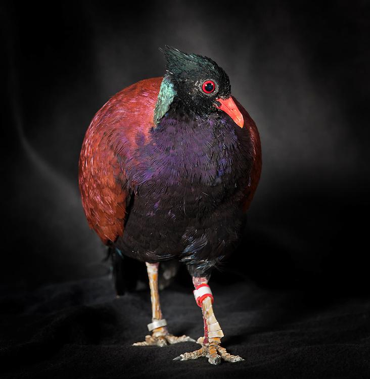 Green Naped Phesant Pigeon, (Otidiphaps nobilis nobilis), captive, credit: Pandemonium Aviaries/M.D.Kern