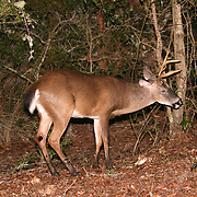 A white tail Jekyll Island six point buck eating acorns at the edge of a palmetto swamp.