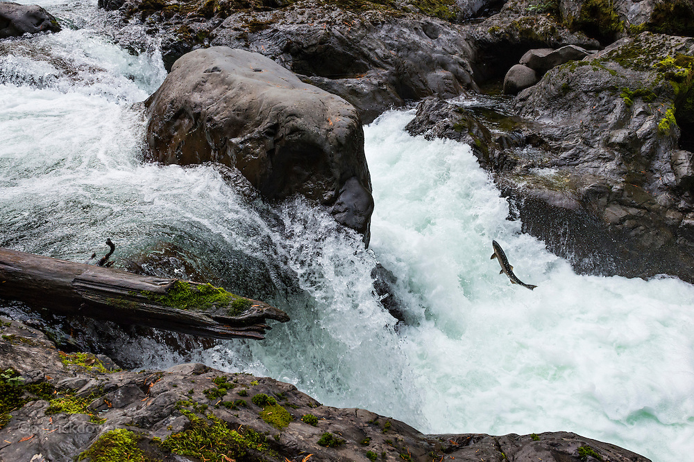A coho salmon makes a mighty leap trying to get past the intense current at the salmon cascades waterfall. Sol Duc River, Olympic National Park.