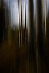 abstract of Aspen Trees in Santa Fe, NM