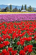 WA13076-00...WASHINGTON - Colorful field of tulips blooming at RoozenGaarde Bulb Farm near Mount Vernon.