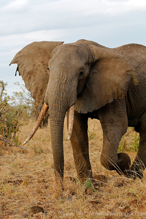 "Africa, Kenya, Meru. Male ""bull"" elephants sporting long tusks in Meru National Park."