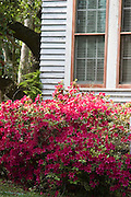 Azaleas in spring growing alongside a historic home in Galveston, Texas.