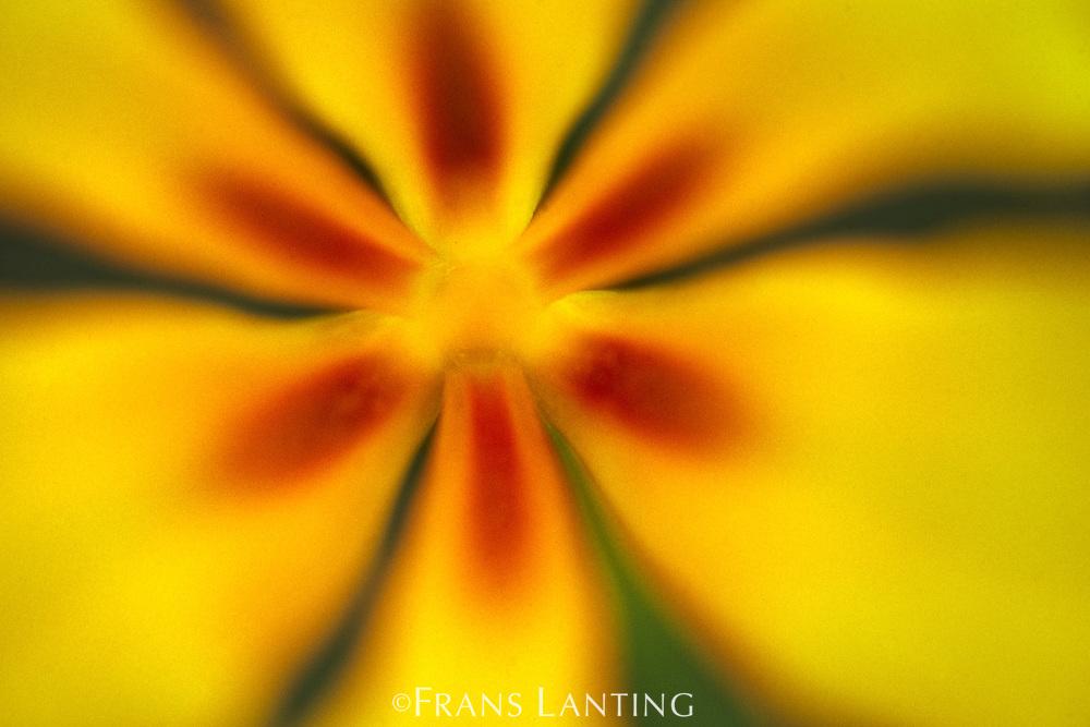 Cape tulip impression, Moraea ochroleuca, South Africa