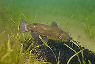 Black Bullhead (guarding fry)<br />