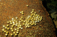 Mudpuppy Salamander Eggs<br />