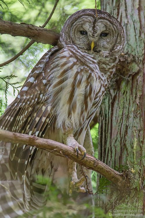 A barred owl (Strix varia) stretches on its perch in Interlaken Park, Seattle, Washington. Barred owls are found in mixed woods where they, like all owls, hunt by watching for prey from perches.