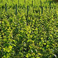 Shinn Estate Vineyard, Mattituck, Oregon Road, Long Island, New York North Fork